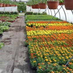 Plantes à massifs