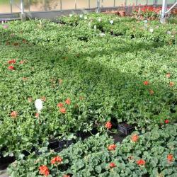 Plants de géraniums lierres