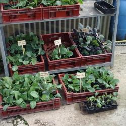 Plants de légumes