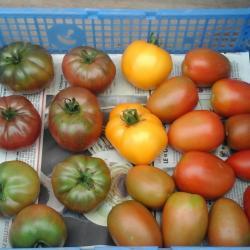 Tomates de couleur