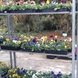 Pensées à grosses fleurs