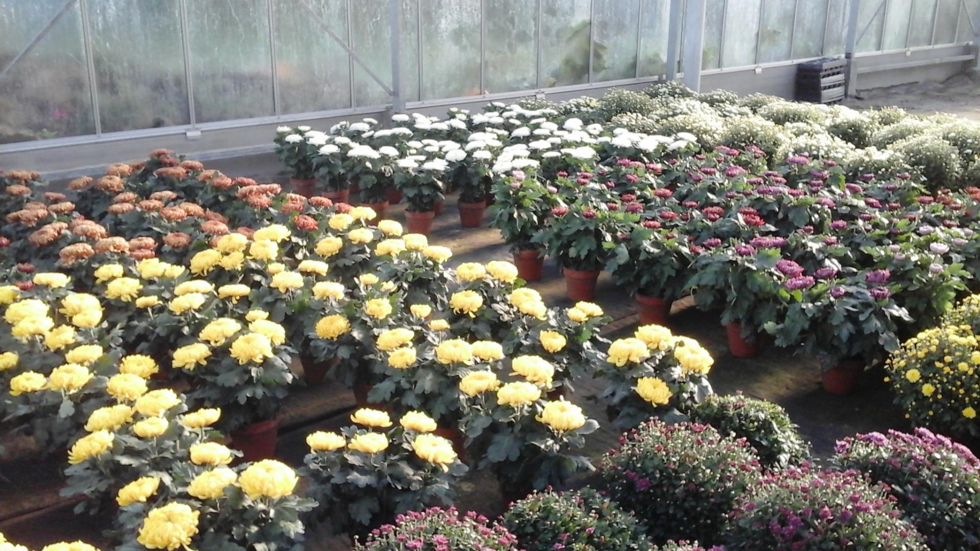 Chrysanthèmes à tête